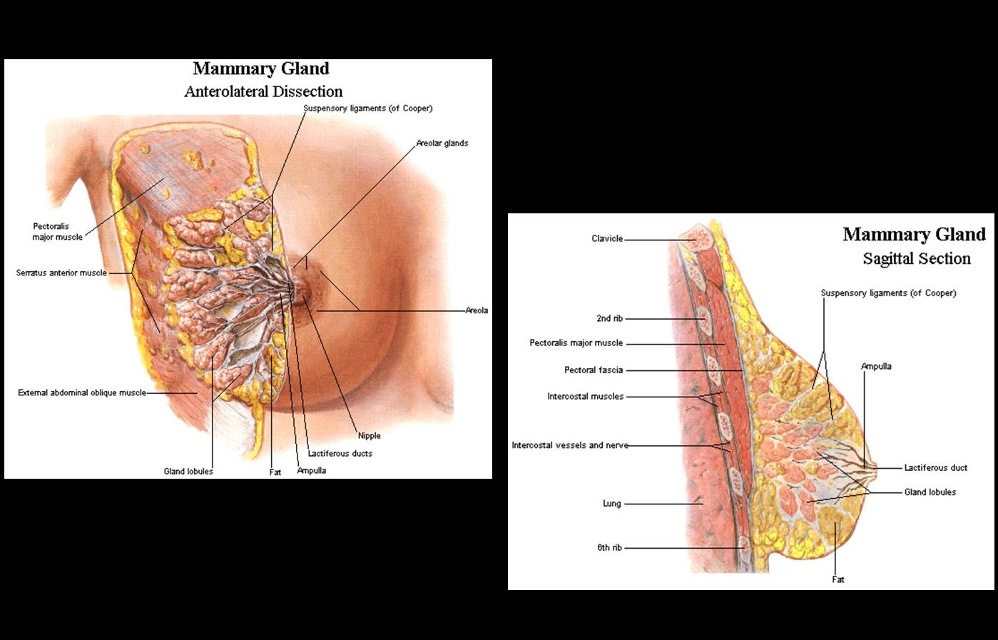 slide breast anatomy